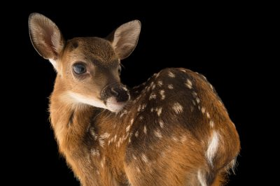 Photo: A five-day-old Chiriqui white-tailed deer fawn (Odocoileus virginianus chiriquensis) at the Summit Municipal Park in Gamboa, Panama.