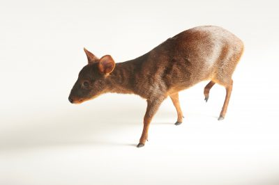 A female southern pudu (Pudu puda) at the Brevard Zoo in Melbourne, FL. This species is listed as vulnerable on the IUCN Red List.