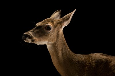 Picture of an endangered female Key deer (Odocoileus virginianus clavium) at Lowry Park Zoo in Tampa, FL.