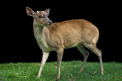 Photo: A gray brocket deer (Mazama gouazoubira) at Parque Jaime Duque.