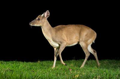 An Amazonian brown brocket deer (Mazama nemorivaga) at Parque Jaime Duque.
