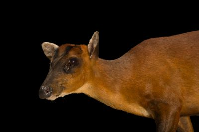 Photo: An Indian muntjac (Muntiacus muntjak) at the Sedgwick County Zoo in Wichita, Kansas.