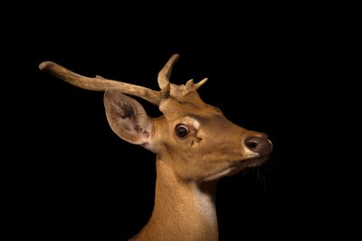 Photo: An endangered brow-antlered deer (Rucervus eldii) named 'Blitzen' at the Sedgwick County Zoo in Wichita, Kansas.