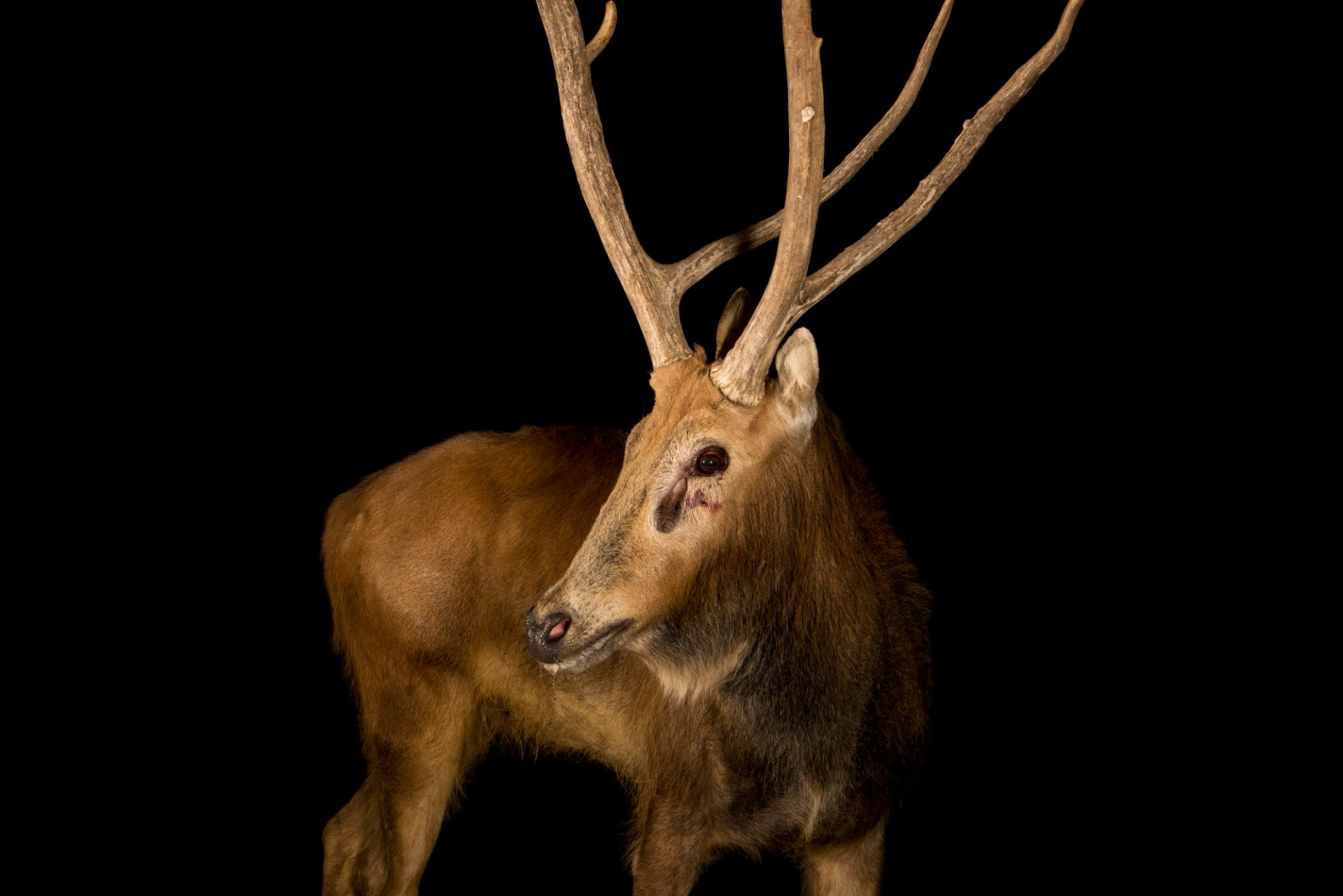 Photo: A male Pere David's deer (Elaphurus davidianus) at the Madrid Zoo. This species is now extinct in the wild.