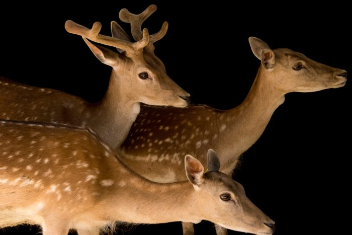 Photo: Two female and one male Fallow deer (Dama dama) at the Madrid Zoo.