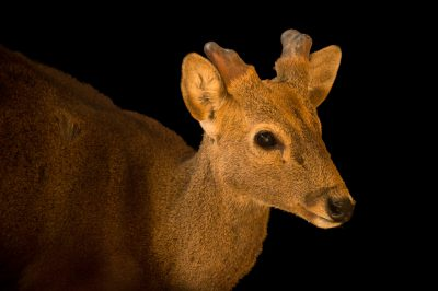 Photo: An endangered Calamian deer (Hyelaphus calamianensis) at the LA Zoo.