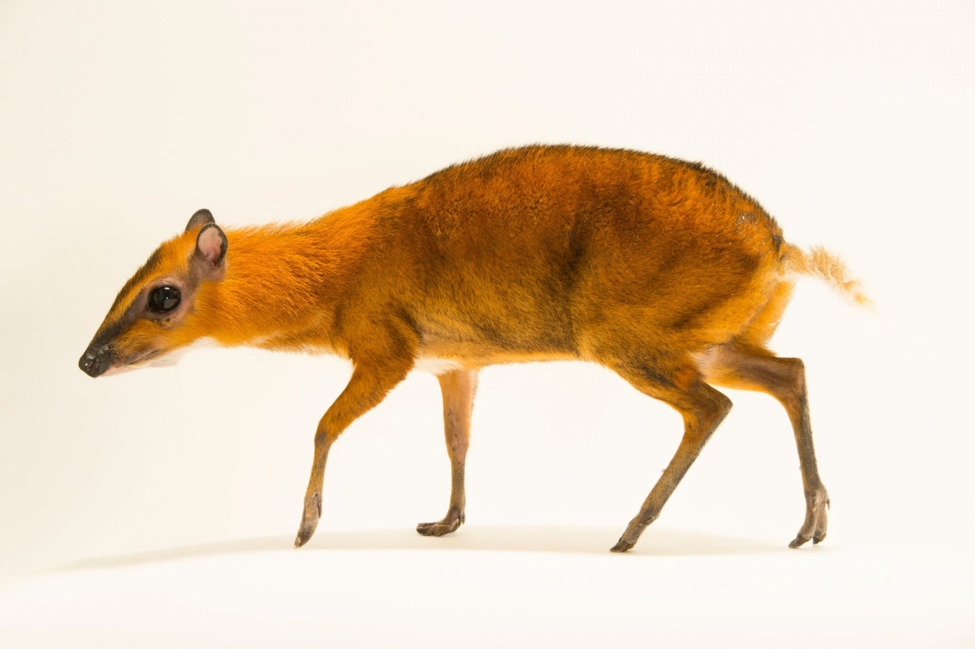 Picture of a greater mouse deer, greater Malay chevrotain or napu (Tragulus napu) at the Topeka Zoo.