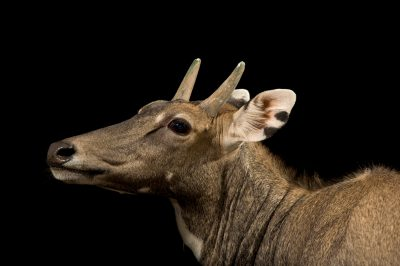 Photo: Nilgai (Boselaphus tragocamelus) at Kamla Nehru Zoological Garden, Ahmedabad, India.