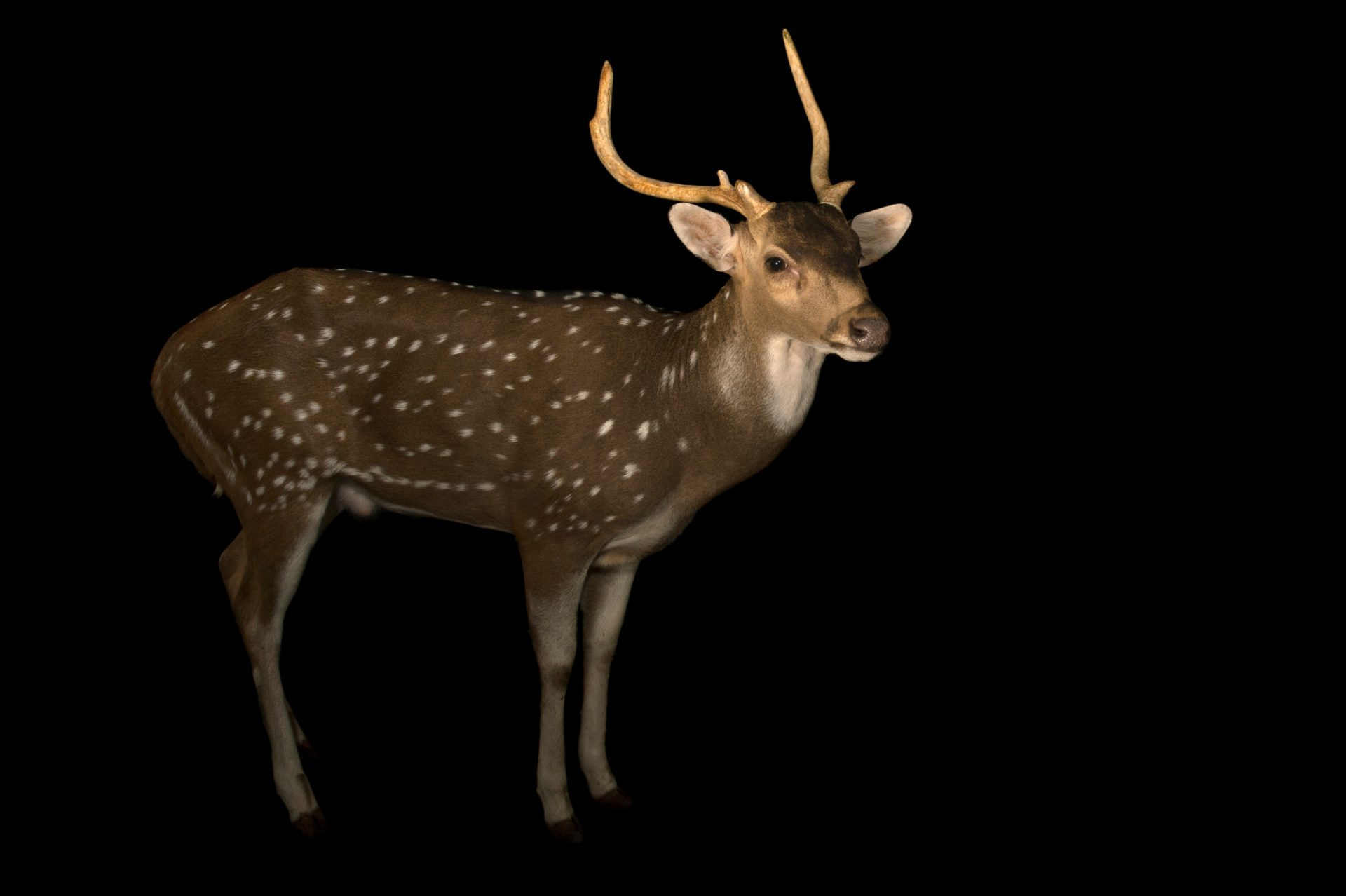 Photo: Spotted deer or Chital (Axis axis) at Kamla Nehru Zoological Garden, Ahmedabad, India.