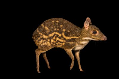 Photo: A spotted mousedeer (Moschiola kathygre) at Night Safari, part of Wildlife Reserves Singapore.
