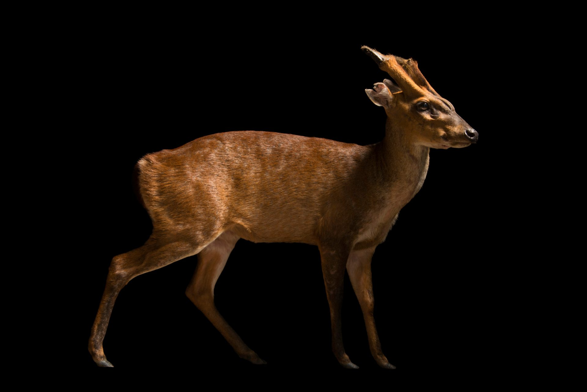 Photo: Peninsular barking deer (Muntiacus muntjak peninsulae) at Zoo Negara.