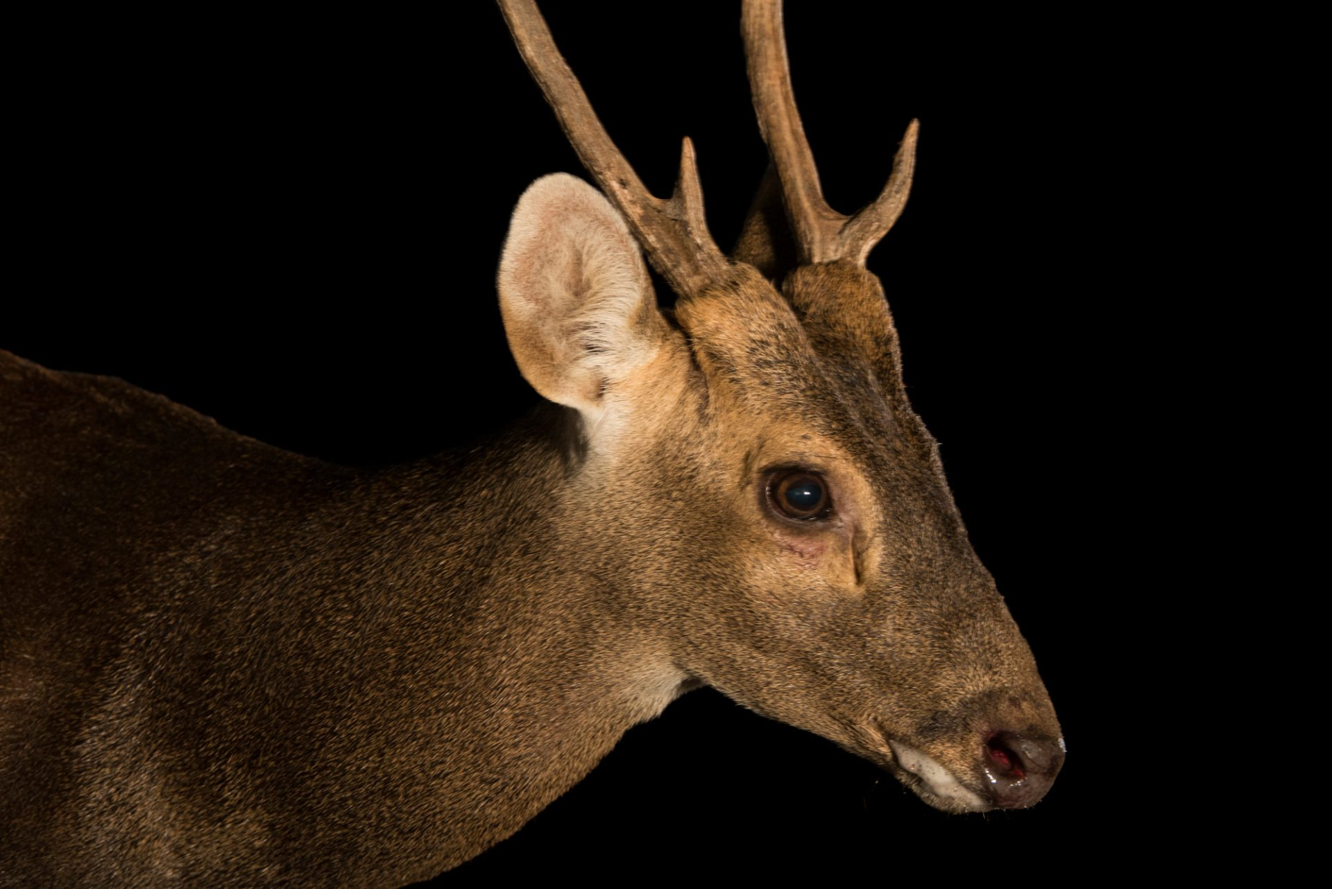 Photo: Critically endangered Bawean deer (Axis kuhlii) at Taiping Zoo.