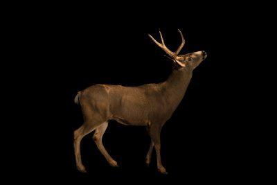 Photo: A male desert mule deer (Odocoileus hemionus eremicus) at Southwest Wildlife Conservation Center.