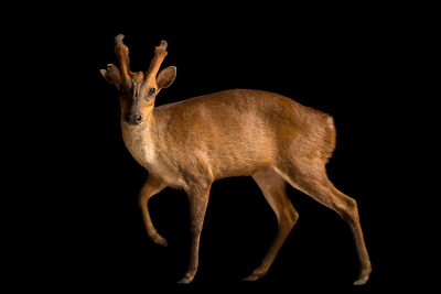 Photo: Peninsular barking deer (Muntiacus muntjak peninsulae) at Zoo Negara.