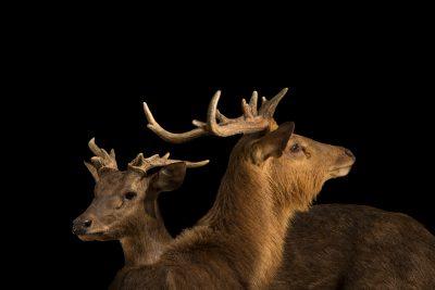 Photo: Javan rusa deer (Rusa timorensis russa) at Zoo Negara.
