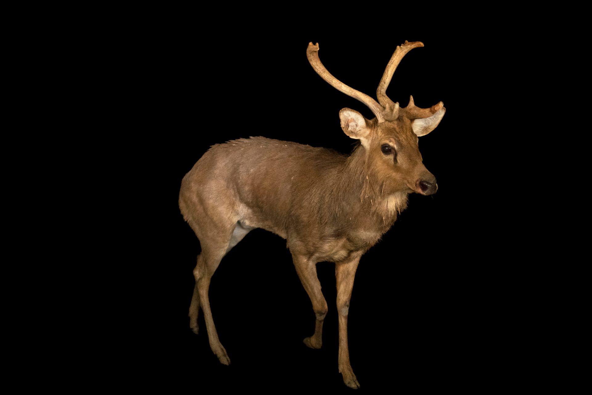 Photo: A male endangered Burmese brow-antlered deer (Rucervus eldii thamin) at the Lisbon Zoo.
