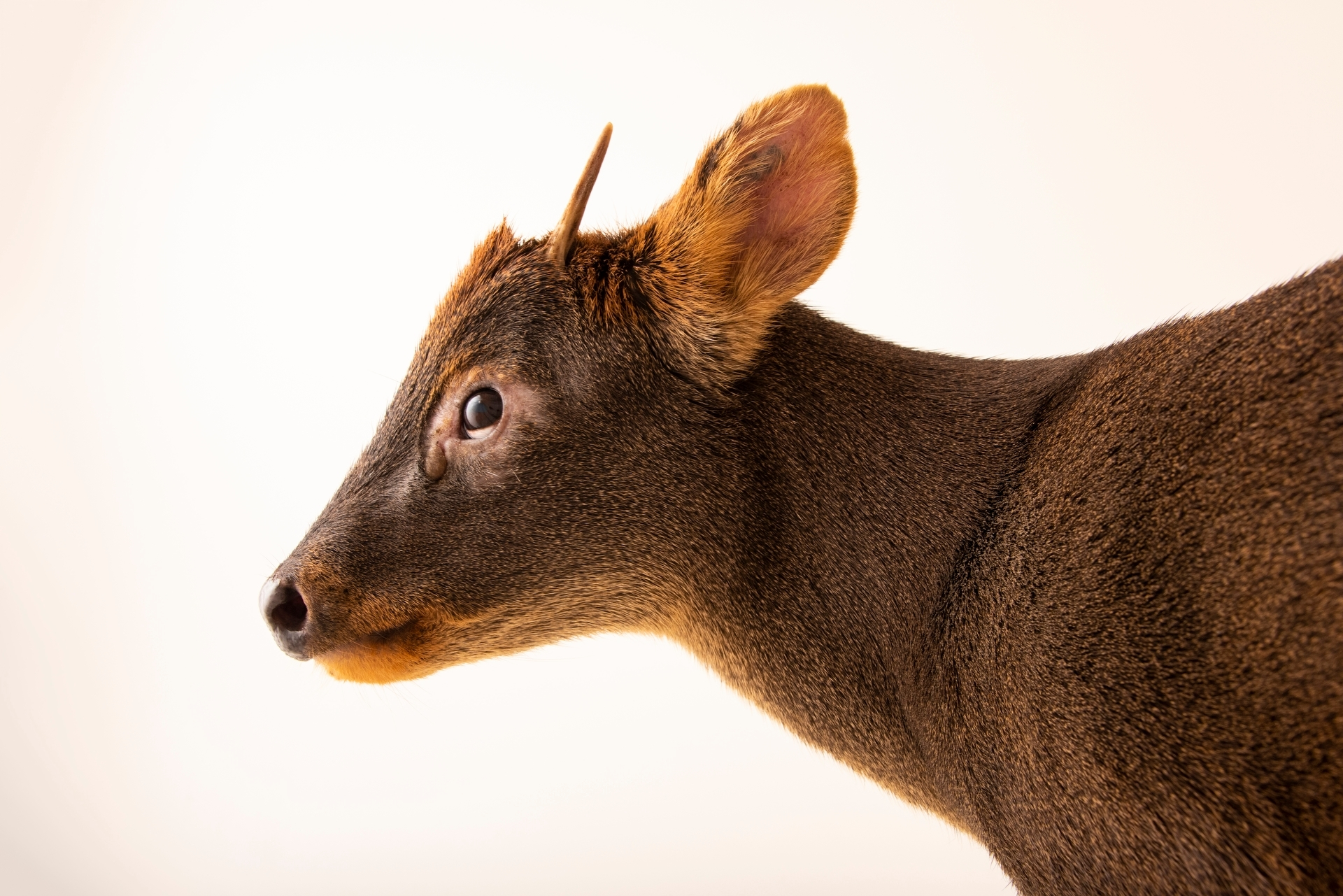 Photo: A male Southern pudu (Pudu puda) at the Dallas World Aquarium.