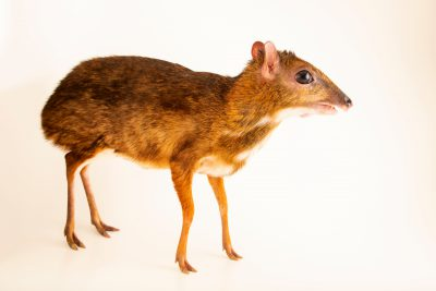 Photo: Lesser Bornean mousedeer (Tragulus kanchil klossi) at the Singapore Zoo.