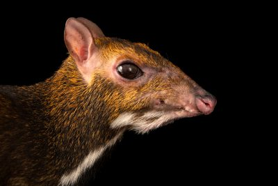 Photo: An endangered Balabac (Philippine) mousedeer (Tragulus nigricans) at the Avilon zoo.