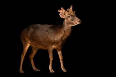 Photo: A Philippine brown deer (Rusa marianna) at the Avilon Zoo. This species is listed as vulnerable on the IUCN Red List.