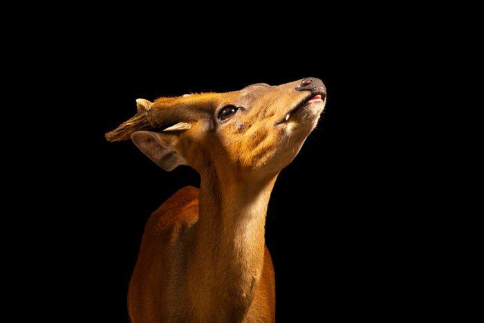 Photo: Javan barking deer (Muntiacus muntjak muntjak) at Bali Zoo.