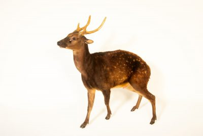 Photo: An endangered Visayan spotted deer (Rusa alfredi) at Zoo Santo Inacio in Portugal.