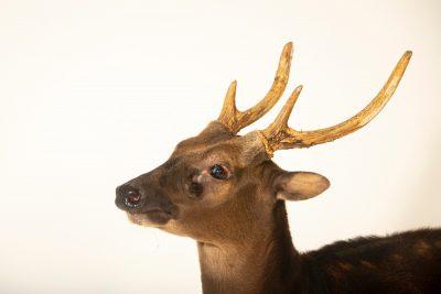 Photo: An endangered Visayan spotted deer (Rusa alfredi) at Zoo Santo Inacio in Portugal.