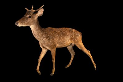 Photo: A Javan deer (Cervus timorensis) at Bali Safari.