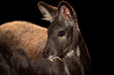 Photo: A Siberian musk deer (Moschus moschiferus moschiferus) at Tierpark Berlin.
