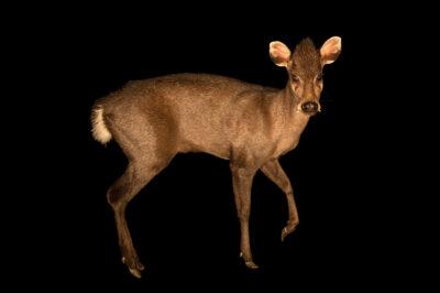 Photo: A male Michie's tufted deer (Elaphodus cephalophus michianus) at Tierpark Berlin.