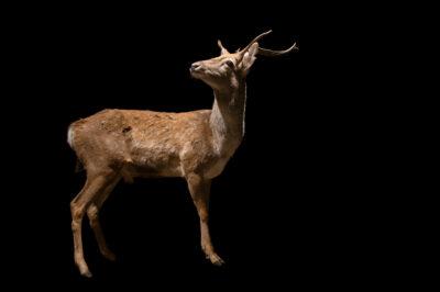 Photo: An endangered male Persian fallow deer (Dama mesopotamica) at Tierpark Berlin.