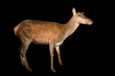 Photo: A female barbary stag or atlas deer (Cervus elaphus barbarus) at Tierpark Berlin.