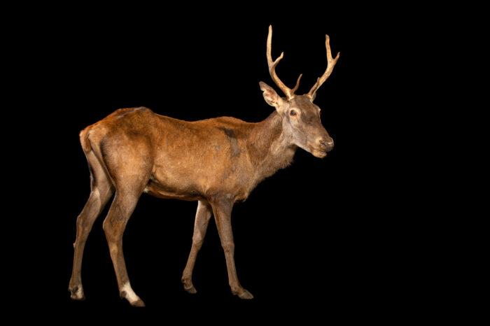 Photo: A male barbary stag or atlas deer (Cervus elaphus barbarus) at Tierpark Berlin.