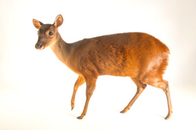Photo: A Central American red brocket (Mazama temama) at the Phoenix Zoo.