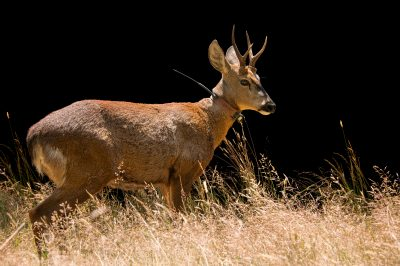 Photo: A South Andean deer (Hippocamelus bisulcus) at Fauna Andina, a conservation center near Villarrica, Chile.