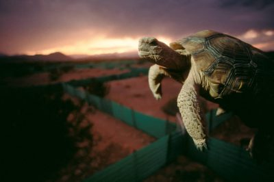 Photo: The endangered desert tortoise's habitat in Nevada is being threatened by housing developments.