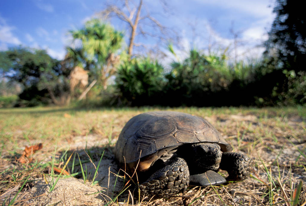 The Florida gopher tortoise (Gopherus polyphemus) at the Florida Panther NWR. (IUCN: Vulnerable, US: Threatened)