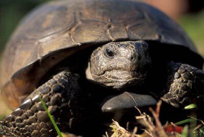 The Florida gopher tortoise (Gopherus polyphemus) at the Florida Panther NWR. (IUCN: Vulnerable, US: Threatened)