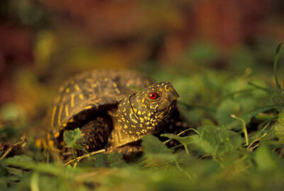 Photo: Ornate box turtle in Lincoln, Nebraska.