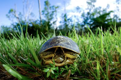 Photo: A painted turtle in Everglades National Park, Florida.