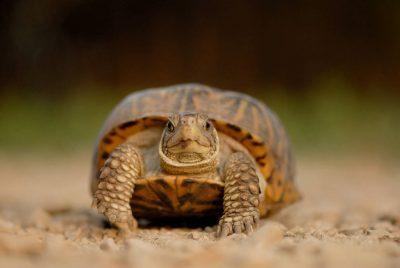 Photo: An ornate box turtle on a farm near Greenleaf, KS.