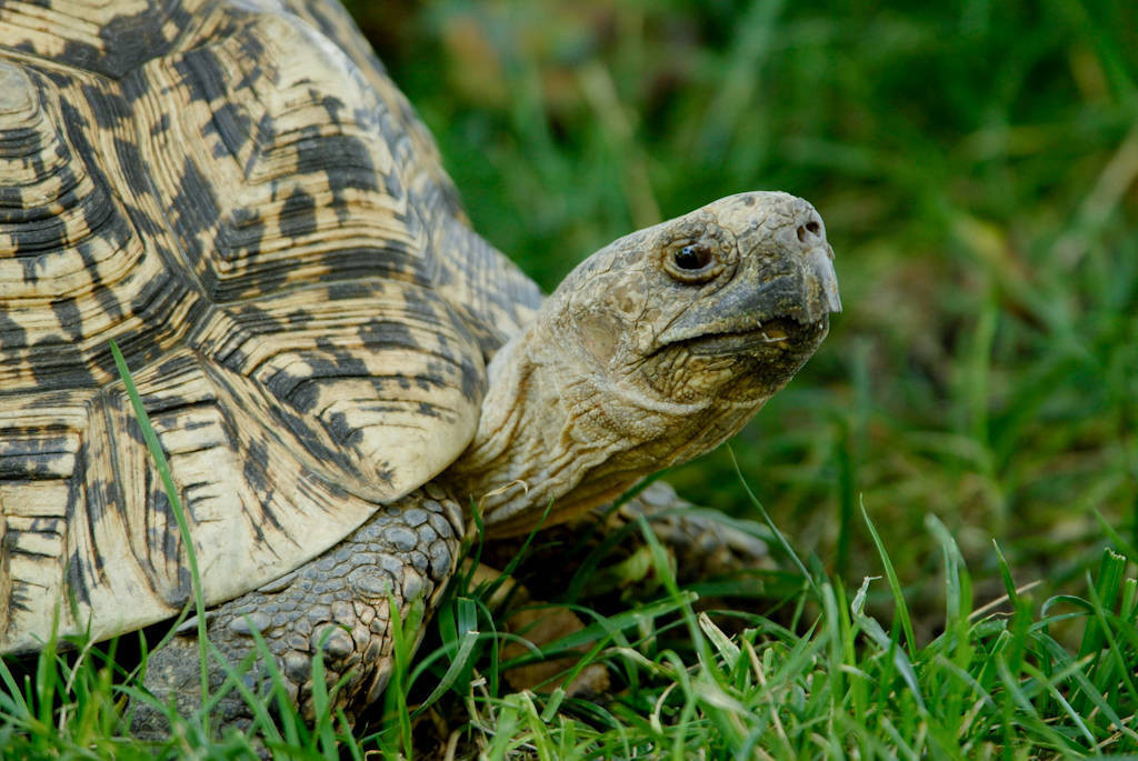 Photo: A leopard tortoise at the Lincoln Children's Zoo.