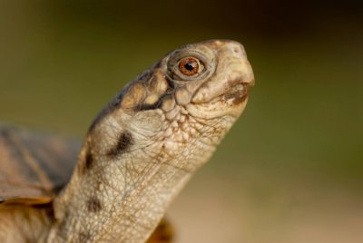 Photo: An ornate box turtle near Greenleaf, KS.