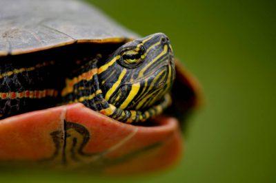 Photo: A water turtle in Burwell, NE.