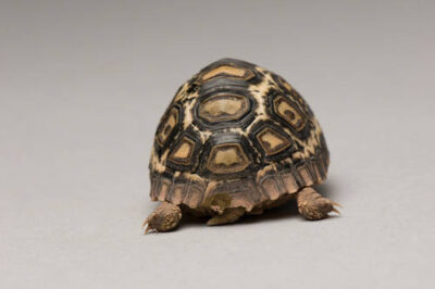 A baby leopard tortoise (Geochelone pardalis) at the Lincoln Children's Zoo.