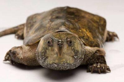 Photo: A big-headed turtle (Platysternon megacephalum shiui) from Asia at the Sedgwick County Zoo.