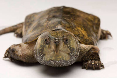Photo: A big-headed turtle (Platysternon megacephalum shiui) from Asia at the Sedgwick County Zoo.
