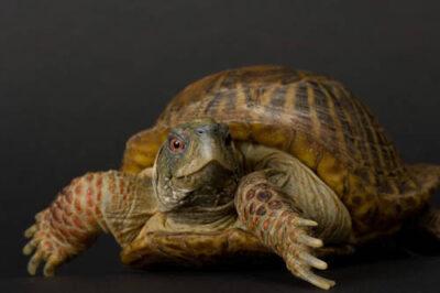 Ornate box turtles (Terrapene ornata) at the Sunset Zoo in Manhattan, KS.