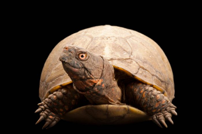 Three-toed box turtle (Terrapene carolina triunguis) at the Sedwick County Zoo.