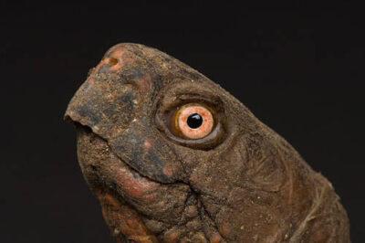 Three-toed box turtle, Terrapene carolina triunguis, at the Sedgwick County Zoo.